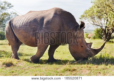 animal, nature, fauna and wildlife concept - rhino grazing in savannah at africa