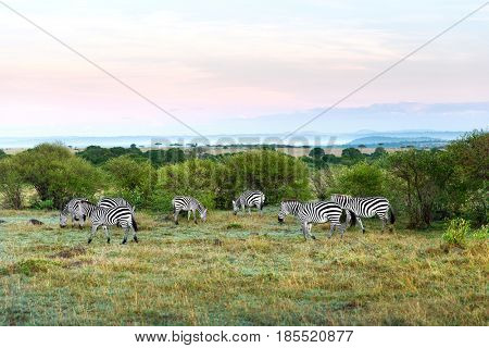 animal, nature and wildlife concept - herd of zebras grazing in maasai mara national reserve savannah at africa