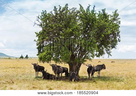 animal, nature and wildlife concept - wildebeests grazing under tree in maasai mara national reserve savannah at africa