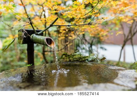 Water bamboo with maple tree