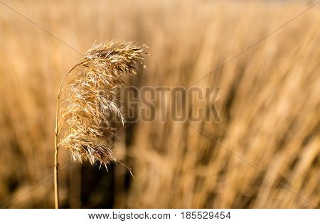 Common Reed Phragmites Australis As Background Or Texture