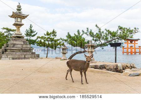 Itsukushima shine and deer