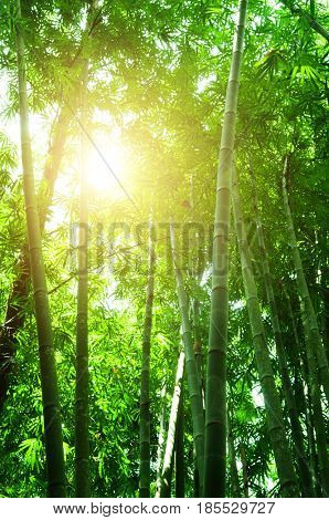 Asian bamboo forest view in morning with sun flare.