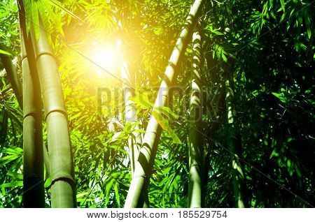 Asian bamboo forest view with morning sunlight.