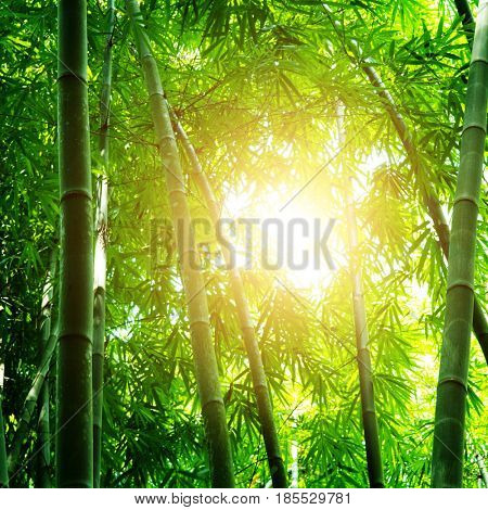Asian bamboo forest view with beautiful morning sunlight.