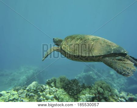 Green turtle shimming above corals in Hawaii