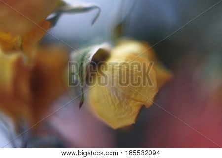 blurred floral abstract background. Withering Rose flower