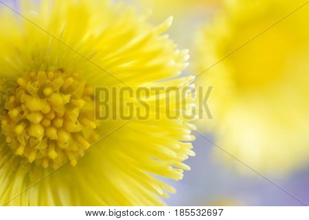 Beautiful yellow flower Tussilago farfara, commonly known as coltsfoot. Focus on foreground.