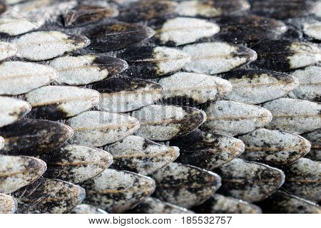 Adder, Vipera berus, detail of the skin. Texture pattern or backgrounds.