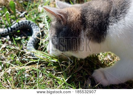 Cat eating adder snake in garden. Horizontal image.