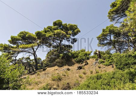 Pine trees at the Ionian cliff seashore in Greece near Parga