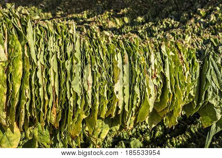 Tobacco leaves hung up to dry in the shed. Raw tobacco leaf under sun. Tobacco leaf pile.