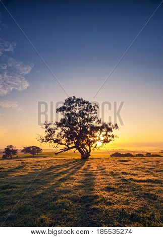 Sun rises behind a tree in the Clare Valley, South Australia
