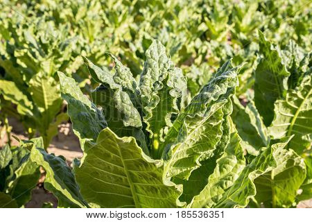 Cultivated tobacco in plantation system. Tobacco leaves is commercially grown to be processes into tobacco industry. Raw tobacco leaf under sun.