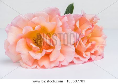 Fresh bunch of pink roses flowers on white background. Pastel floral wallpaper background from flower petals. Trendy color. Bloom love concept