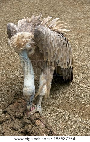 Griffon vulture (Gyps fulvus) eating from a carcass.