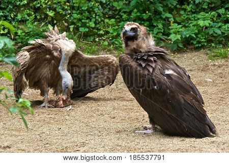 Cinereous vulture (Aegypius monachus) looking on white a griffon vulture (Gyps fulvus) is eating.