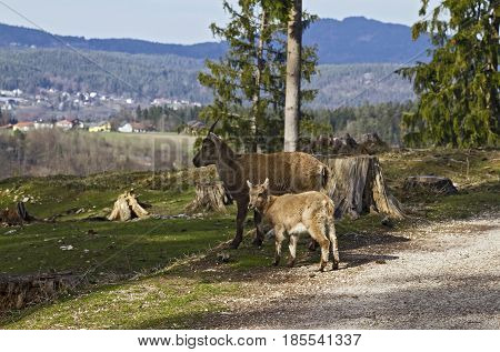 Mountain goats looking around at Tierpark Schloss Rosegg