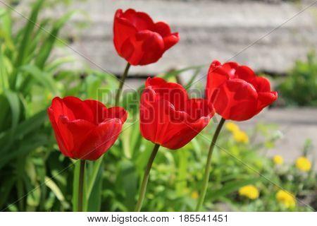цветущие красные тюльпаны крупным планом на солнце