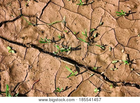 dry cracked earth with young shoots of wild plants