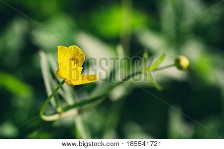 Small flower yellow buttercup in the foreground outdoor selective focus