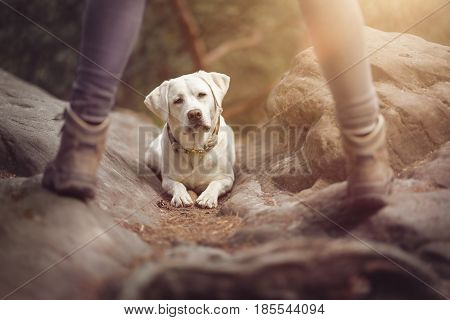 young cute labrador retriever dog puppy is teached in the dog school by a female dog trainer
