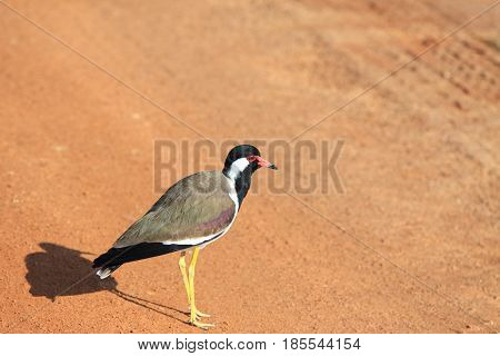 Red-watted Lapwing, Vanellus indicus lankae, standing on the red path in Wilpattu Sri Lanka