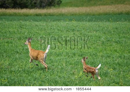 Deer And Fawn Running