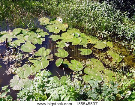 Image Of Some Water Lilies In A Pond