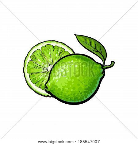 Whole and half unpeeled ripe green lime, sketch style vector illustration on white background. Hand drawn whole and sliced juicy lime fruit with fresh green leaf