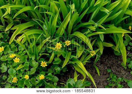 Primroses in forest, Buttercup spring , Ficaria verna, top view. Natural organic background. Simvol of first spring plants, seasons, weather. Modern wallpaper or banner design