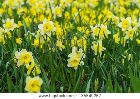 Flower bed with Many flowers of yellow daffodil, Narcissuses flowers blooming in the spring. Modern background, selective focus. Simvol of first spring plants, seasons, weather, new beginnings