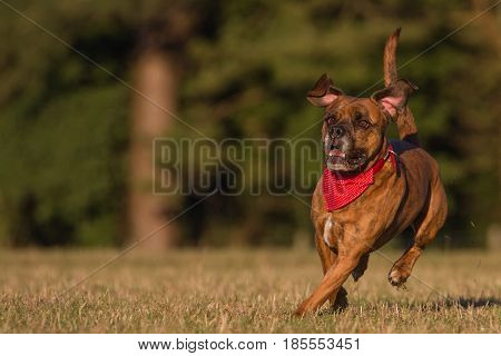Happy Pet Dog Running With Bandana in field park or open space