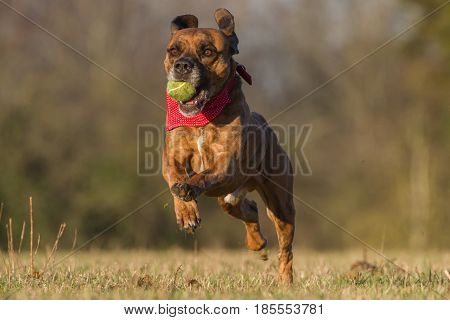 Happy Dog Running With Ball In An Open Space