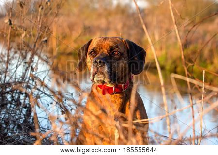 Sad Dog Stood By River In Beautiful Golden Light