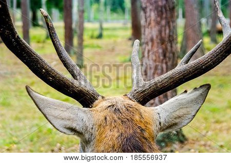 Moose with very large horns looks into the distance and dream.Horns,Moose,elk