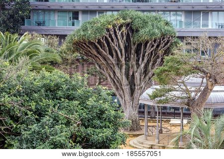 Cadiz, Spain. African trees in Genovese garden