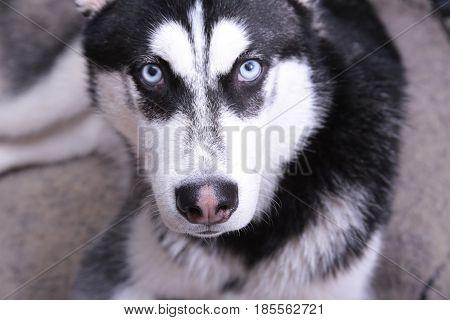 Portrait of Siberian husky with blue eyes, lying on floor.