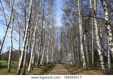 Landscape Of Birch Alley