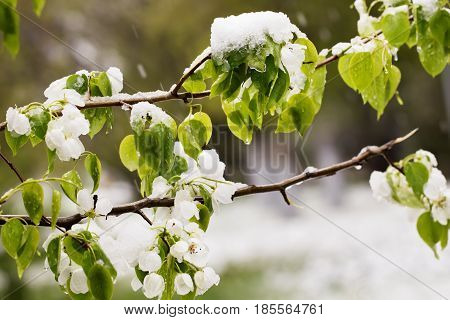 Snow on the blossoming tree in the spring. Suddenly dropped out snow on branches and flowers of a tree of a pear a sharp cold snap bad weather. Selective focus