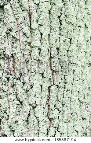 Mossed pine bark background for advertising forest enviroment