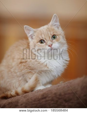 Light-beige tabby kitten with green eyes sitting.