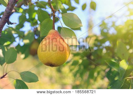 Pear hanging in an orchard tree.