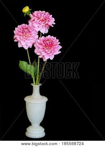 White vase with three pink garden dahlias, on black.