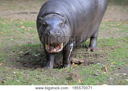 Smiling pygmy hippo with his mouth partially open.