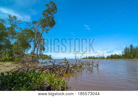 Mangrove forest with river in Kuala Penyu,Sabah,Borneo.Mangrove forests are important because its prevent salt water from intruding into rivers.