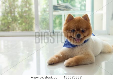 Pomeranian Puppy Dog Cute Pet