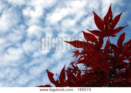 Red Leafs In Sky