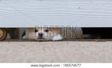pomeranian dog cute pet under fence in home