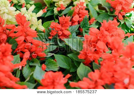 Red salvia flowers and white salvia flowers togather on market